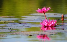 Indian red water lily wallpaper - Water lilies