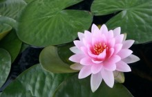 Japanese water lily wallpaper - Water lilies
