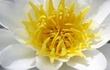 Lotus flower wallpaper - Water lilies