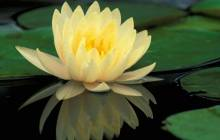 Yellow lotus wallpaper - Lotus wallpaper