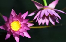 Water lily photos - Water lilies