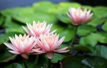 Nymphaeaceae wallpapers - Water lilies