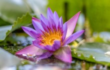 Purple water lily flower - Water lilies