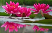 Pink lotus wallpaper - Water lilies