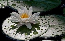 Water lily images - Water lilies