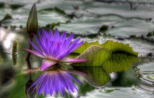 African water lily image - Water lilies