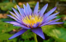 Violet water lily wallpaper