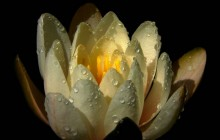 Mexican water lily wallpaper - Water lilies