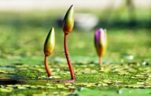Water lilies buds wallpaper