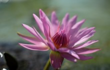 Pink water lily wallpaper - Water lilies
