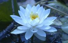 Blue lotus wallpaper - Lotus wallpaper