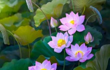 Picture of water lily plant - Water lilies