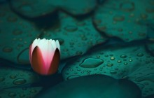 Water lily bud wallpapers