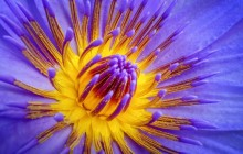 Purple water lily image