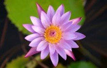 Pink water lily wallpapers