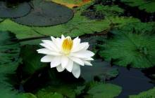 Lotus flower - Water lilies