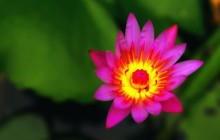 Red water lily flower wallpaper - Water lilies