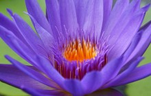 Violet water lily wallpapers - Water lilies