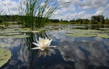 Water-lily in the lake