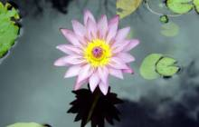 Lotus wallpapers - Water lilies