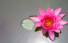 Pink water lily image - Water lilies