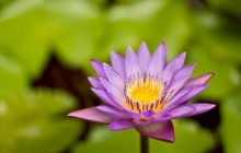 Water lily bloom - Water lilies