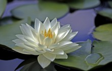 Beautiful water lily flower wallpaper