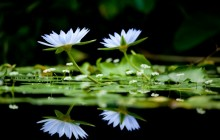 White water lilies image