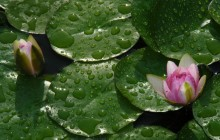 Fresh water lilies wallpaper - Water lilies
