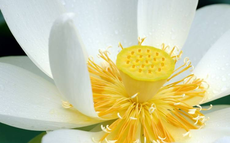 White lotus wallpaper, Lotus wallpaper