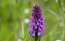 Wild purple orchid wallpaper - Other