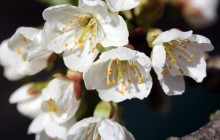 Wild cherry blossom flowers - Other