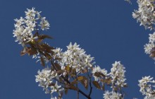 White blossom twig - Other