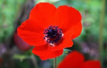 Red anemone flower wallpaper - Other
