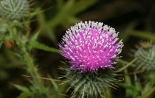 Thistle Blossom image - Other