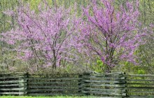 Redbuds picture - Other
