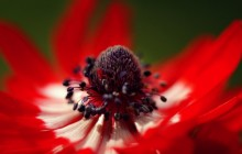 Red anemone wallpaper - Other
