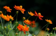 Sulfur cosmos flowers wallpaper - Other