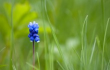 Muscari flower in the grass