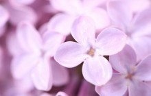 Violet lilac flowers wallpaper - Other