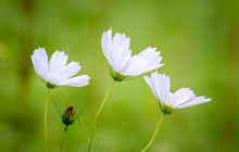 White cosmos flowers wallpaper - Other