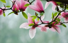 Tulip tree wallpaper - Other