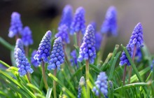 Muscari flowers - Other