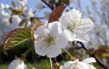 White cherry blossom - Other