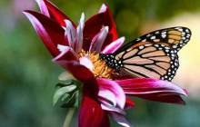 Flower butterfly wallpaper - Butterfly