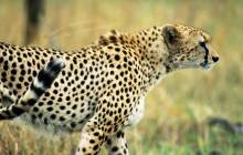 Hd leopard wallpaper - Leopards