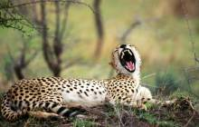 Leopard wallpapers - Leopards