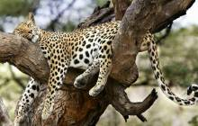 Leopard photo - Leopards