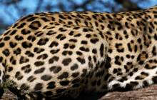 Leopard pictures - Leopards