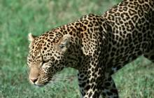 Leopard wallpaper - Leopards